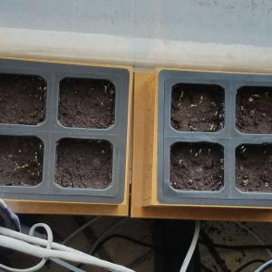 Day 4. Drizzled a bit of hydrogen peroxide on a tiny bit of fungal growth on surface of soil. Fixed it right up!