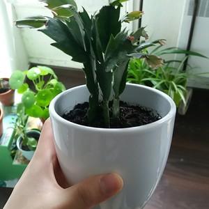"""我新添加了一棵""""蟹爪兰(cactus de noël)""""到我的""""花园"""""""