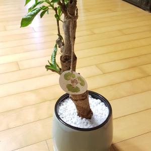 """제가 새로운 식물 """"바오바오""""한 그루를 나의 """"화원""""에 옴겼어요."""
