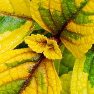 Spurflower  Troy's Gold