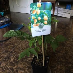 """我新添加了一棵""""黄树莓""""到我的""""花园"""""""