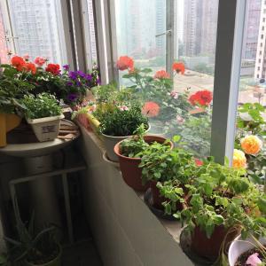 天竺葵是开花神器