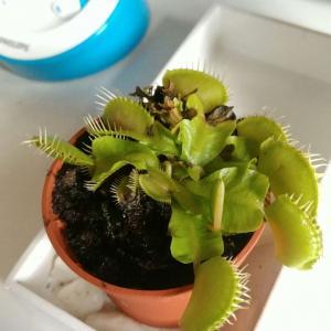 I Nuevo agregado un Carnivora (Dionaea muscipula) en mi jardín