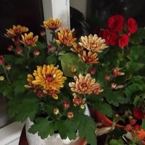 """我新添加了一棵""""荷兰菊""""到我的""""花园"""""""