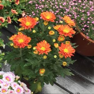 """我新添加了一棵""""红菊花""""到我的""""花园"""""""