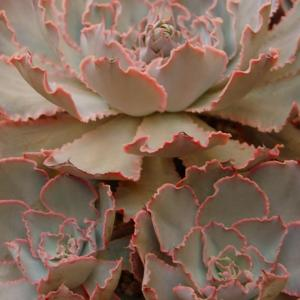 Mexican Hens&Chicks