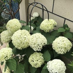 又开始由白变绿了,花球很大,下雨会倒伏,我给上了支撑