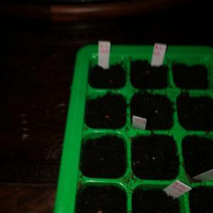 """我新添加了一棵""""黑天鹅绒天竺葵五粒""""到我的""""花园"""""""