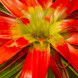 Name: Guzmania sanguinea Latin: Guzmania sanguinea Origin: South America Plant height: 20 - 40 cm Reproduction:  #Layering   Difficulty level:  #Easy   Tags:  #SouthAmerica   #Guzmaniasanguinea